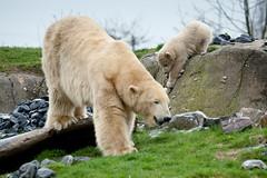 2011-04-05-11h03m00.272P0985 (A.J. Haverkamp) Tags: zoo rotterdam blijdorp polarbear vicks ijsbeer dierentuin diergaardeblijdorp olinka httpwwwdiergaardeblijdorpnl canonef100400mmf4556lisusmlens dob06122010