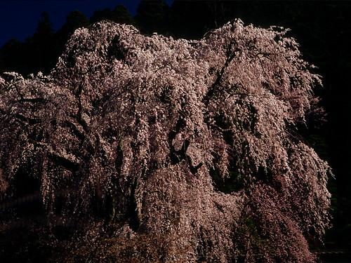 フリー写真素材, 花・植物, バラ科, 桜・サクラ, 日本,