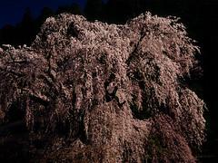 [フリー画像] 花・植物, バラ科, 桜・サクラ, 日本, 201104120700