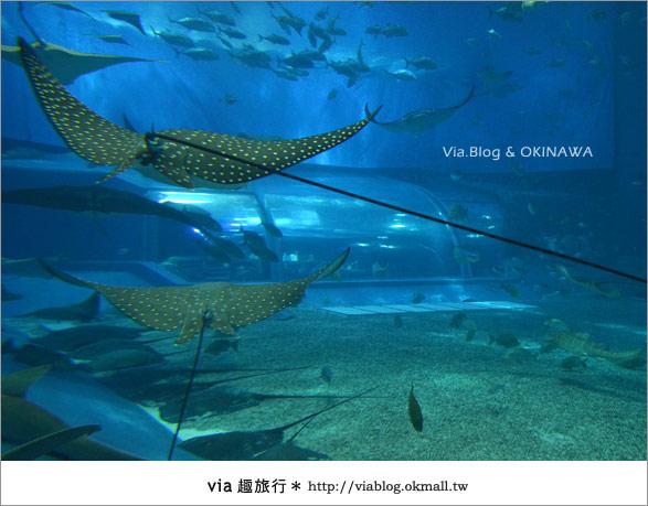 【沖繩景點】美麗海水族館~帶你欣賞美麗又浪漫的海底世界!28