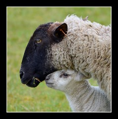 Closeness...... (Levels Nature) Tags: uk england cute nature animal animals sheep sweet lamb wiltshire wylye opposti abigfave