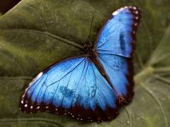 I'm blue (pierluigi.ricci) Tags: blue macro nature closeup butterfly fly wings blu azzurro farfalla zuiko50mm abigfave olympuse3 pierluigiricci