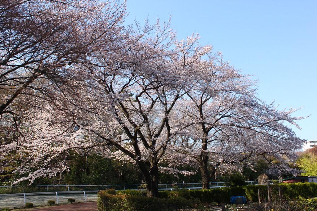 Sakura Photo 2011Bajikouen (9)