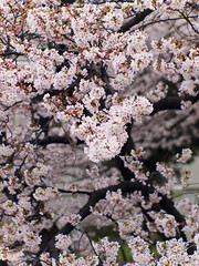 Cherry blossoms in dizzle 02