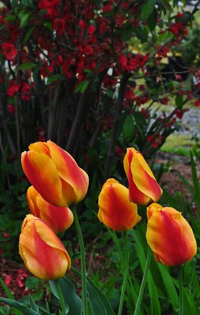 Tulips (6)