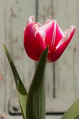 Spring Tulip (LenDog64) Tags: flowers red white flower green nature germany spring colorful europe bokeh sony tulip april blooms tamron midday lightroom badenwurttemberg 2011 denkendorf tamronlens tamron1750 tamronspaf1750mmf28xrdiiildasphericalif lightroom3 sonya700 sonyalpha700 sony700 april2011 denkendorfgermany