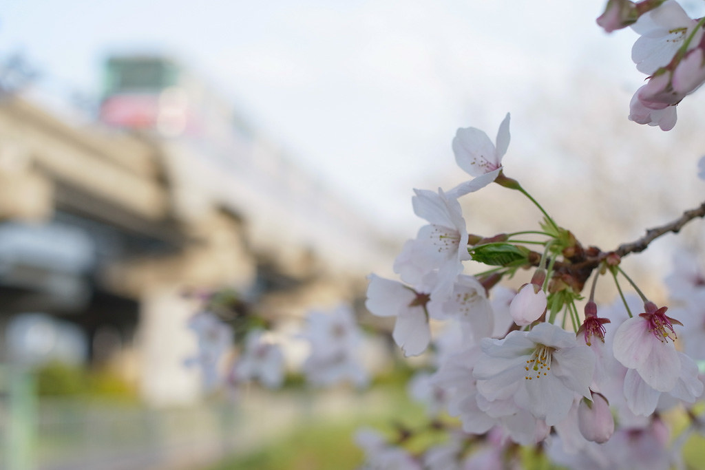 Sakura / cherry blossoms (with Osaka Monorail)