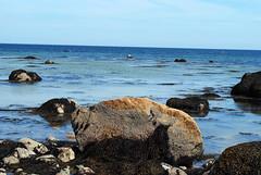 ellisville park beach: april 10, 2011 (kyannasutton) Tags: ocean sea beach plymouth seal atlantc seascpae masschuetts
