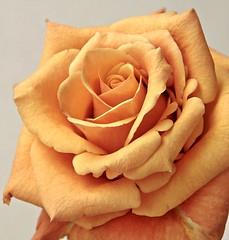 Rose Orange III (jeici1) Tags: naturaleza flower love nature rose friendship amor flor rosa amistad