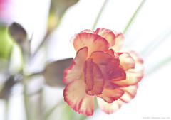 69 of 365 - Carnation (linlaw39) Tags: stilllife sunlight white blur flower oneaday sunshine closeup scotland spring aberdeenshire bokeh softfocus fraserburgh lindal aperturepriority project365 1050mm 365project 105mmprime canoneos500d march2011 insidework 10032011