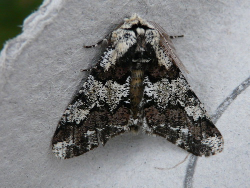 Oak Beauty (Biston strataria) by Peter Orchard