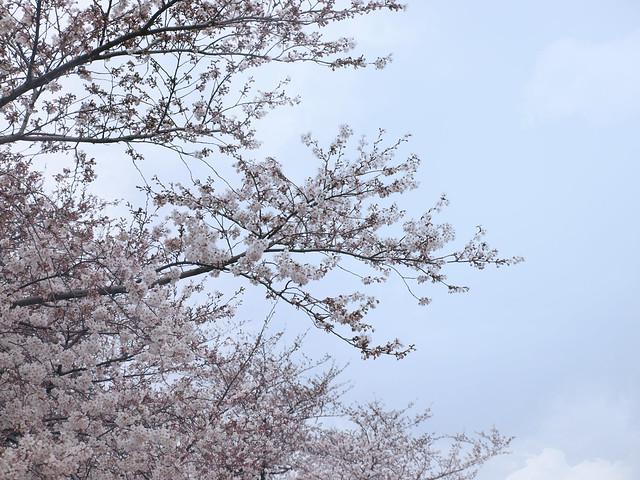 晴れた空と桜のフリー写真素材