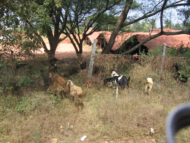 Goats in Bangalore, India