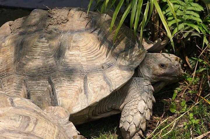 木柵動物園(蘇卡達象龜)014