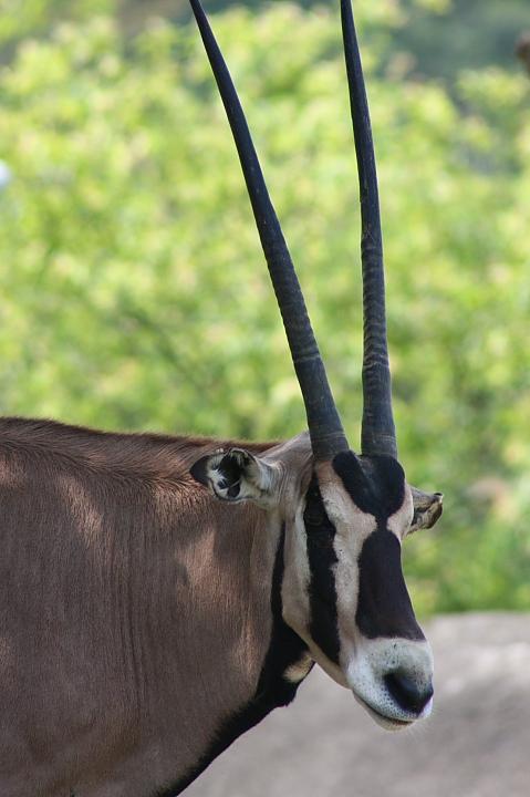 木柵動物園(直角羚羊)036