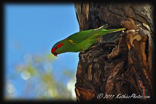 Musk Lorikeet checking out a new home