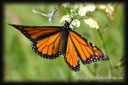 105-365 Monarch Butterfly and friend