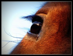 Dans les yeux.... (nonorock) Tags: horse cheval eyes yeux chevaux