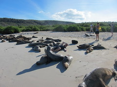 Galapagos Sealions on Beach 2