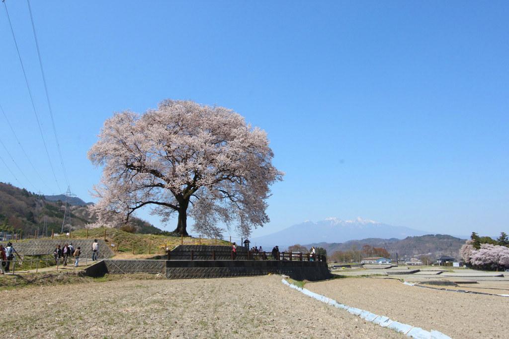 Sakura Photo 2011Wanizuka cherry blossom (4)
