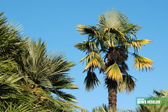Palm tree (Denis Veselov) Tags: city travel blue sky green tourism nature fruits leaves yellow background resort exotic palmtree vegetation trunk rest sochi substrate  sprawling