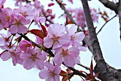 DSC03175 (Jurek.P) Tags: cherry spring blossoms poland kwiaty wiosna jurekp sonya500