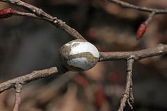 自然環境保全センターのイラガ(の繭)(Cocoon of moth, Nature Preservation Center, Kanagawa, Japan)