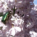 2011-04-12_insecte_lilas