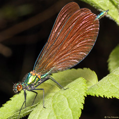 Beautiful Demoiselle female (timz501) Tags: jersey damselfly beautifuldemoiselle calopteryxvirgo