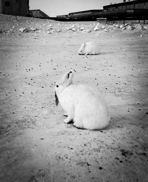 Arctic hares in Greenland