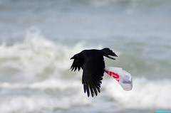 TheCrow'sFlight (mcshots) Tags: california usa bird beach birds trash neck coast losangeles stock flight strangle socal plasticbag crow mcshots twisted