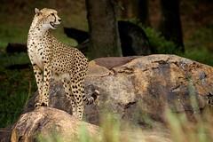 Animal Kingdom Cheetah (Ryan-Tamm) Tags: winter animals zoo orlando florida disneyworld bigcat cheetah themepark animalkingdom