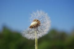 Lwenzahn---Pusteblume (Gnter Hentschel) Tags: natur wiese blumen lwenzahn pusteblume