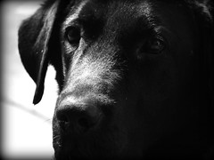 Eyes - Explored! (@mons.always) Tags: bw dog pets black goofy animals fauna canon lab labrador canine