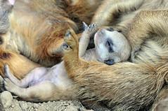 Erdmännchen (Michael Döring) Tags: zoo bismarck gelsenkirchen erdmännchen meerkats d300 zoomerlebniswelt michaeldöring af80400 iuvenile