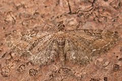1834-DSCN2215 Common Pug (Eupithecia vulgata) (ajmatthehiddenhouse) Tags: 2011 moth kent geometridae larentiinae eupitheciavulgata eupithecia vulgata commonpug stmargaretsatcliffe garden uk