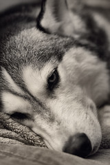 Kona: His Normal Routine (Aaron W | http://law-photography.com) Tags: dog white black canon silver husky nik siberian 18 85 kona huskie 50d efex
