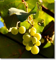 Videira... acredite se quiser...... / Vine... believe it or not...... (Marina Linhares) Tags: verde green nature fruit natureza vine fruta uva grape videira parreira platinumheartaward doublyniceshot tripleniceshot