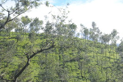 DSC_0383 (antineutrino) Tags: kerala kodaikanal teaplantation southindia munnar