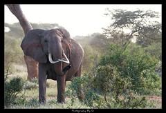 Crossed (Grievous247) Tags: africa wild portrait elephant cute nature kenya wildlife sony safari trunk tusks bigfive tsavoeast a700 sonya700 sal70400g