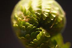 Wrapped.... (michael_hamburg69) Tags: fern macro spring brake grn makro farn frhling freuen farnwedel