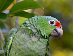 Red-lored Amazon, Costa Rica. (One more shot Rog) Tags: green bird birds rainforest costarica parrot emerald parrts