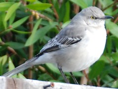 Northern Mockingbird (JohnCramerPhotography) Tags: bird birds fauna google flickr wing beak aves northernmockingbird mimuspolyglottos animalia avian facebook passeriformes mimus chordata twitter mimidae moqueurpolyglotte taxonomy:order=passeriformes taxonomy:class=aves tumblr taxonomy:kingdom=animalia taxonomy:phylum=chordata taxonomy:family=mimidae taxonomy:genus=mimus taxonomy:binomial=mimuspolyglottos taxonomy:common=northernmockingbird taxonomy:species=polyglottos taxonomy:common=moqueurpolyglotte pinterest centzontlenorteo taxonomy:common=centzontlenorteo