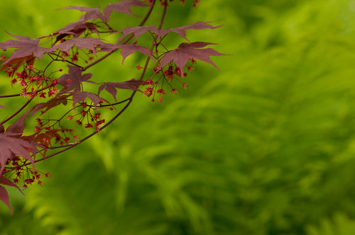maple and ferns