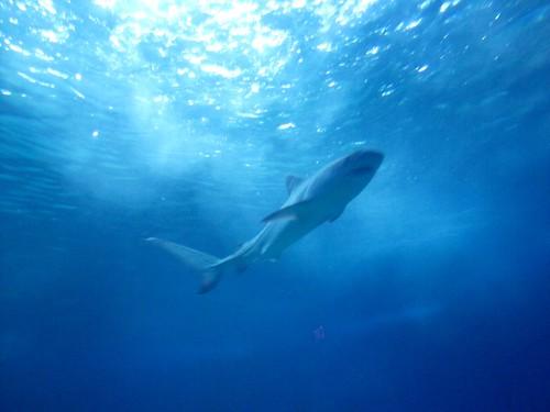 solo shark