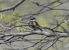 Myrtle Warbler (Photo Crazy Rob) Tags: park usa ny nature birds nikon central d90 myrtlewarbler rac60