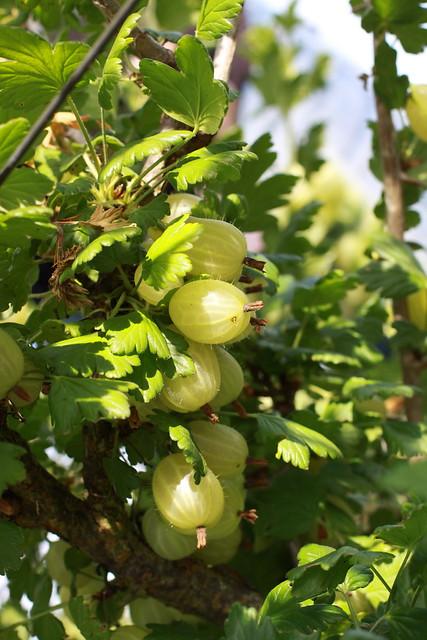 G- berry bush