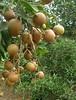 Trái nhãn Da Bò  Dimocarpus longan  thuộc h� Bồ Hòn  Sapindaceae