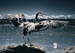 Stanley Park Seawall 002 (Kyle Bailey - Da Big Cheeze) Tags: bird fly wings blueheron kylebailey rookiephoto dabigcheeze wwwrookiephotocom