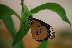 Danaus chrysippus / African Monach / Plain Tiger (justavessel) Tags: macro butterfly israel plaintiger anawesomeshot kunstplatzlinternational africanmonach